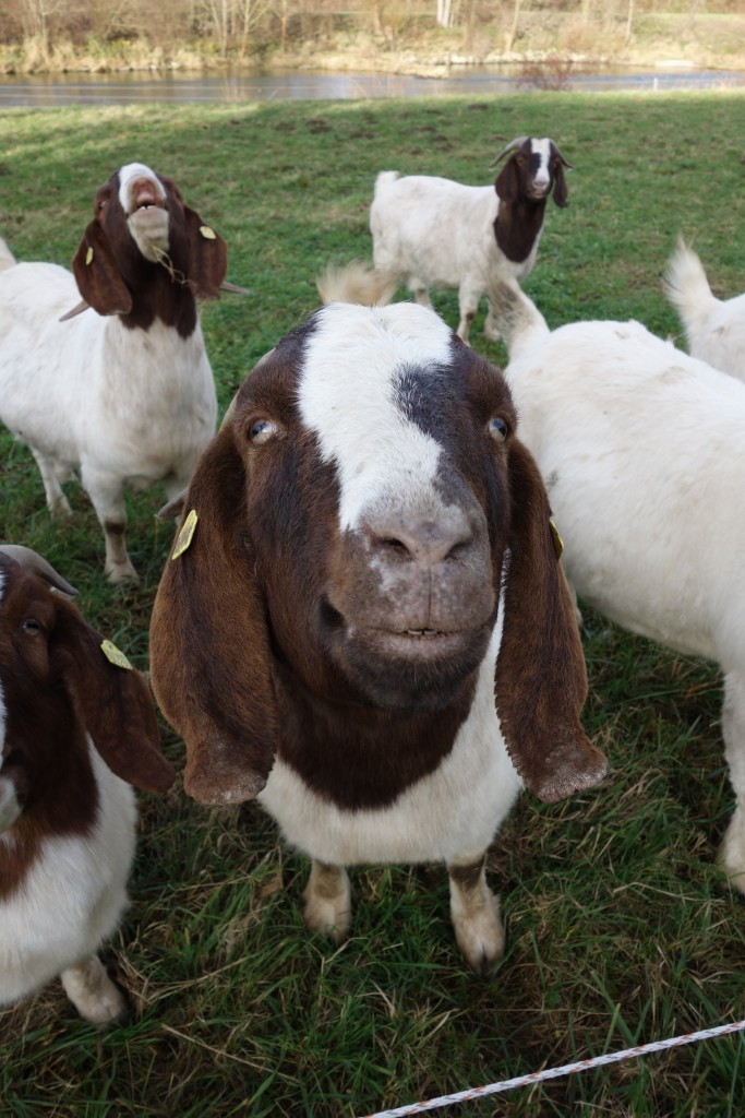 Got some goats