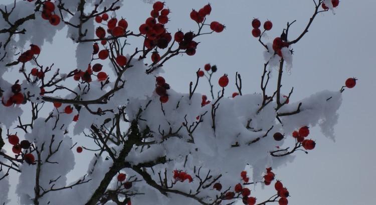 Berries in the snow III
